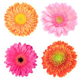Collection of four gerberas. Collection of four macro images of colorful gerbera flowers Royalty Free Stock Photos