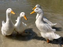 Collection of four heavy white Aylesbury Ducks stock photography