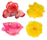 Collection of four isolated roses Stock Image
