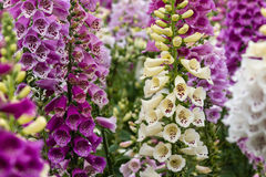 Collection of foxglove flowers Stock Photo