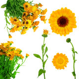 Collection of fresh  calendula flowers Royalty Free Stock Photo