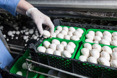 Collection of fresh champignons on a mushroom production. Hand in a rubber glove picking up fresh harvest of champignons into containers on a mushroom growing stock photo