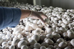 Collection of fresh champignons on a mushroom production. Hand in a rubber glove picking up fresh harvest of champignons on a mushroom growing plant. Food stock photography