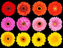 Collection of Fresh Gerbera Flowers Isolated on Black Royalty Free Stock Images