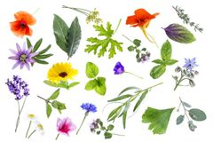 Collection of fresh medicinal herbs and flowers isolated on white background. Collection of fresh medicinal herb isolated on white background royalty free stock photos