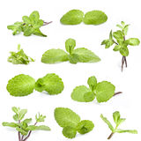 Collection of fresh mint Stock Images