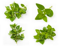 Collection of fresh oregano Royalty Free Stock Image