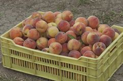 Collection of fresh peach fruits Royalty Free Stock Photos