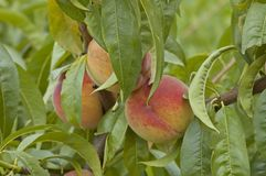 Collection of fresh peach fruits Stock Image
