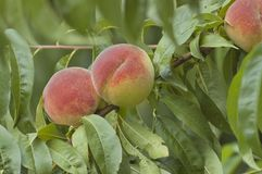 Collection of fresh peach fruits Stock Images