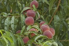 Collection of fresh peach fruits Stock Photography