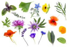 Collection of fresh medicinal herbs and flowers isolated on white background. Collection of fresh plants and medicinal herb isolated on white background royalty free stock images