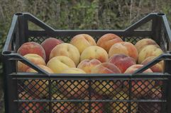 Collection of fresh ripe peach fruits Stock Image