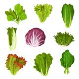 Collection of fresh salad leaves, radicchio, lettuce, romaine, kale, collard, sorrel, spinach, mizuna, healthy organic. Vegetarian food vector Illustration stock illustration