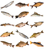 Collection of fresh water fish. Living in Dnipro river isolated on white background Stock Photography
