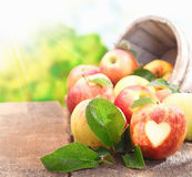 Collection of freshly picked apples Stock Photography