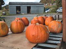 A collection of freshly picked tasty organic pumpkins. On metal bars. Farm barn in blurry background Royalty Free Stock Photo