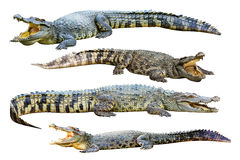 Collection of freshwater crocodile isolated on whi Royalty Free Stock Photography