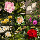 Collection of garden roses Stock Photography