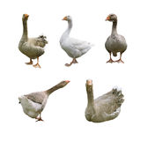 Collection of geese Royalty Free Stock Images