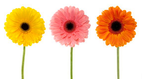 Collection gerbera daisy Royalty Free Stock Photo