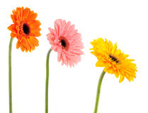 Collection gerbera daisy Royalty Free Stock Images