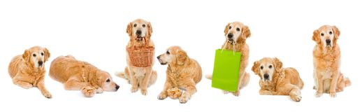 Collection golden retriever. The high resolution d Royalty Free Stock Photo