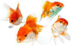 Collection of goldfish isolated on white. Royalty Free Stock Photos