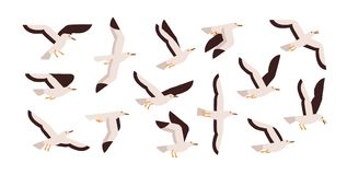 Collection of graceful flying seagulls isolated on white background. Set of ascending, descending and soaring gulls. Gorgeous bird or seabird. Colorful vector royalty free illustration