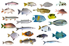Collection grande d'un poisson tropical sur un blanc Photographie stock libre de droits