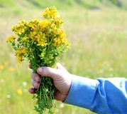 Collection of grass. A man on a Sunny day in the meadow collects flowers of St. John`s wort stock photos