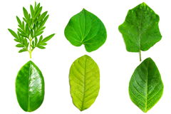 Collection of green leaf isolated Royalty Free Stock Photography