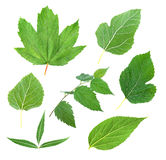 Collection green leaf. Summer Green leaf on white background Stock Photo