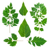 Collection green leaf. Summer Green leaf on white background Royalty Free Stock Photography