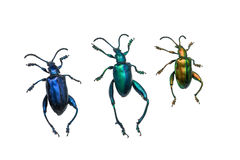 Collection of ground beetles (carabidae), isolated on white back Stock Photography