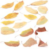 Collection group beautiful colorful autumn cherry leaves stock photography