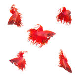 Collection Group of orange red siamese fighting fish Royalty Free Stock Photos