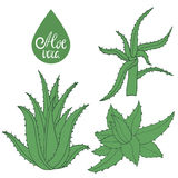 Collection of hand drawing aloe  on white. Green leaves of aloe vera. Vector Illustration Stock Photography