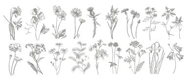 Collection of hand drawn flowers and herbs. Botanical plant illustration. Vintage medicinal herbs sketch set of ink hand. Drawn medical herbs and plants sketch stock image