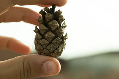 Collection of Hand drawn pine cones Stock Image