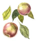 Collection of highly detailed hand drawn apples. Watercolor botanical illustration isolated on white background. Collection of highly detailed hand drawn apples Stock Photo
