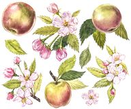 Collection of highly detailed hand drawn apples. Watercolor botanical illustration isolated on white background. Collection of highly detailed hand drawn apples Stock Image