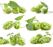 Collection of hops Stock Photo