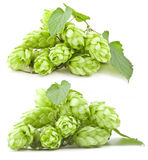 Collection of hops Royalty Free Stock Images