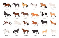 Collection of horses of various breeds isolated on white background. Bundle of gorgeous domestic equine animals of. Different types and colors. Colorful vector stock illustration