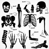 Collection Human Skeleton Stock Image