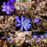 Collection of images with first fresh blue violet in the forest Stock Photography