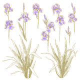 Collection of iris flowers. Collection of vector drawn iris flower Royalty Free Stock Photos