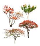 Collection of Isolated flame trees with orange and red flowers on white backgroud Stock Photos