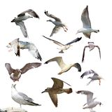 Collection of isolated gulls royalty free stock images